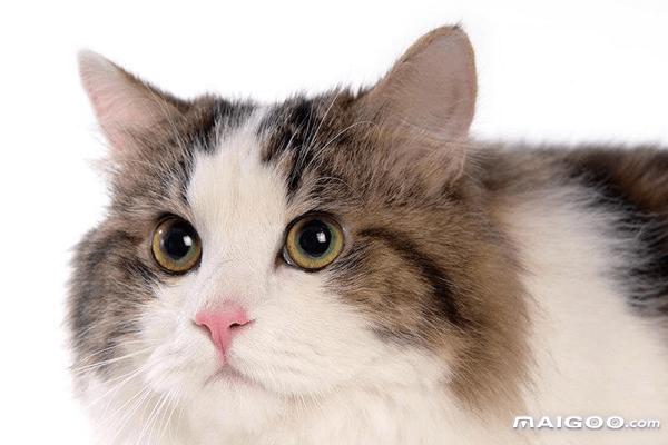 世界十大最萌的宠物猫 最萌的猫咪盘点 全球十大最萌猫